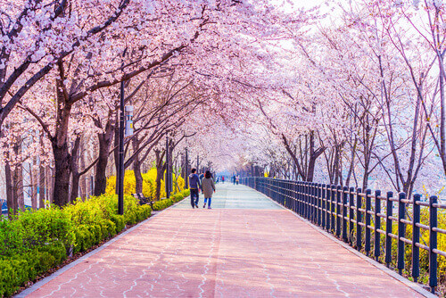 cherry blossom south korea
