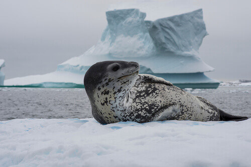 Leopard seal on an ice flow in Antarctica