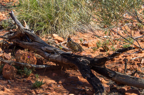 A Spinifex Pigeon sits on a burnt log in the rocky bushland near Kings Canyon Northern Territory of Australia