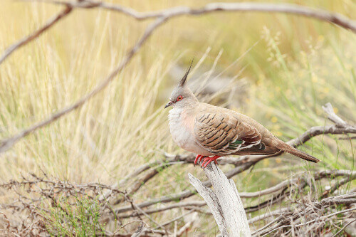 Crested Pigeon sitting on a tree branch in Kata Tjuta National Park Northern Territory of Australia