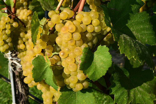 Green Veltliner on the vine (German is Gruner Veltliner) white wine grape variety in Austria