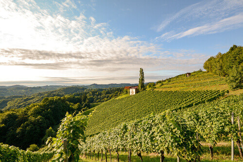 Landscape with wine grapes in the vineyard before harvest in Styria Austria
