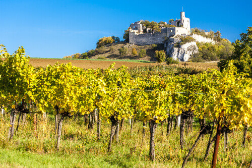 Ruins of Falkenstein Castle with vineyard in autumn in Lower Austria