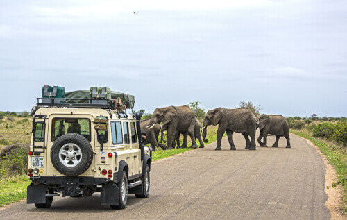 Visitors in a land-rover on Safari in Africa are watching a herd of wild elephants crossing a road in Kruger National Park