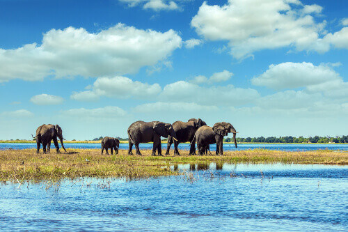 African elephants crossing river in shallow water in Chobe National Park in Botswana