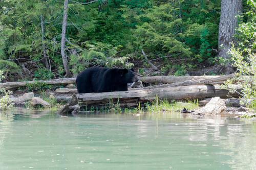A black bear looking for food at the Blue River in British Columbia Canada