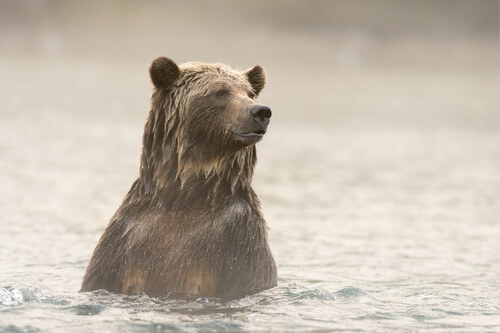 Grizzly Bear (Ursus arctos) bathing close up on the Blue River in British Columbia Canada