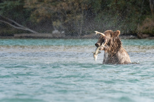 Grizzly Bear catching a fish in Blue River British Columbia Canada