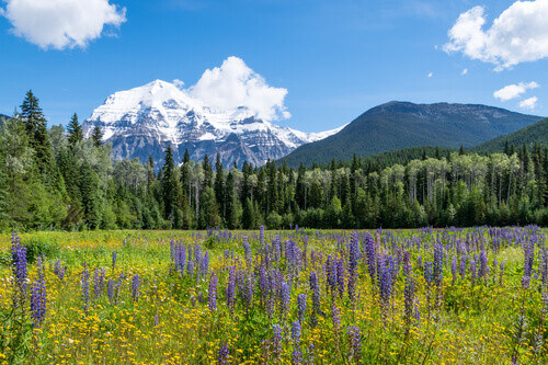 Mount Robson Behind Lupine Filled Meadows in the summer in British Columbia Canada