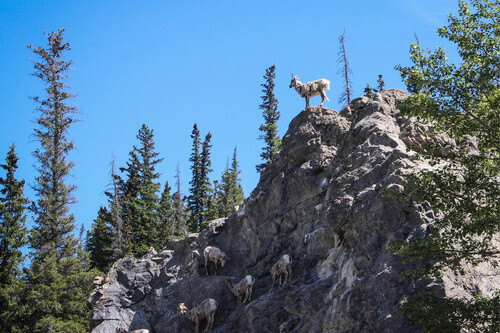 Mountain Sheep at Mount Robson Provincial Park in British Columbia Canada