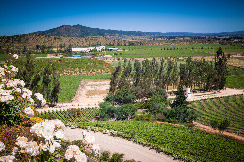 Beautiful green vineyard with mountains and hills on the background in Casablanca Valley in Chile