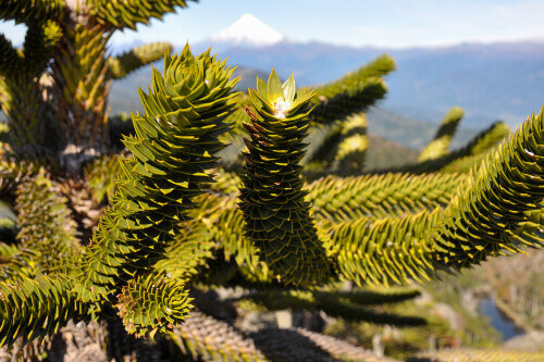 Araucaria or Monkey puzzle trees in the El Cani Reserve in Pucon. Araucaria or Monkey puzzle trees in the El Cani Reserve in Pucon.