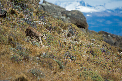 A puma stalking towards its prey in Torres del Paine National Park, Patagonia