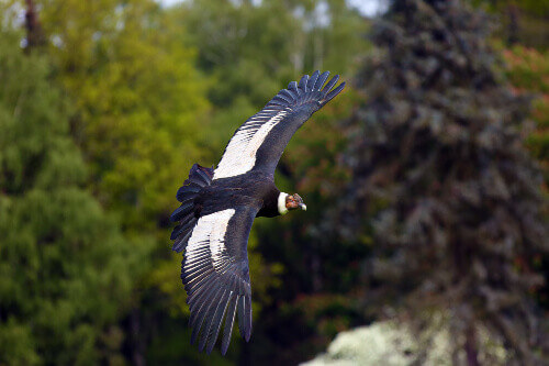 The Andean condor (Vultur gryphus) flies in Torres del Paine National Park in Patagonia Chile