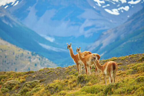 Three Guanacos in Torres del Paine national park, Patagonia, Chile