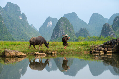 Farmer tends his buffalo in a paddy field of Huixiang in Guilin China