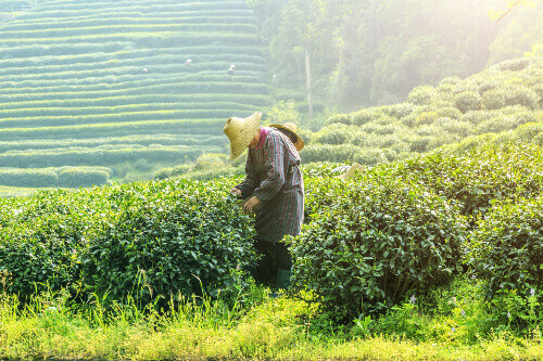 Man picking up tea leaves in a tea plantation in Hangzhou China