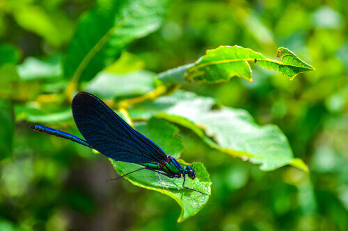 Dragonfly at green leaf in Plitvice Lakes national park in Croatia