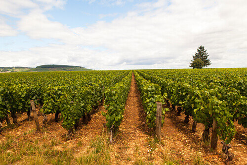 Looking the Pinot noir vineyard in Côte d'Or Bourgogne in France
