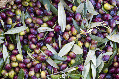 Greek olives in sack after harvest in Messenia Greece