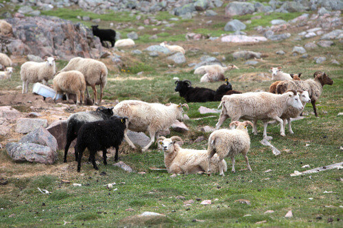 Herding sheeps in Southern Greenland