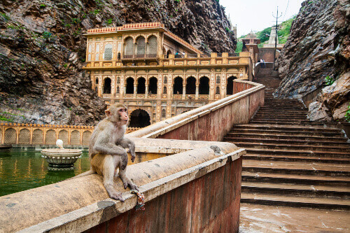 Monkeys are common sights in temples in India, this one is enjoying a seat at the Galtaji Temple, or Monkey Temple in Jaipur.