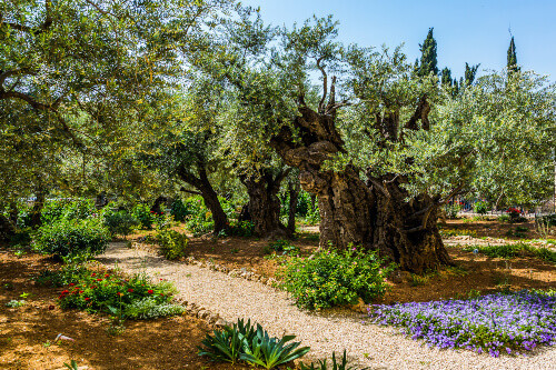 Thousand year old olives in Gethsemane Garden on the Mount of Olives in ancient city of Jerusalem in Israel