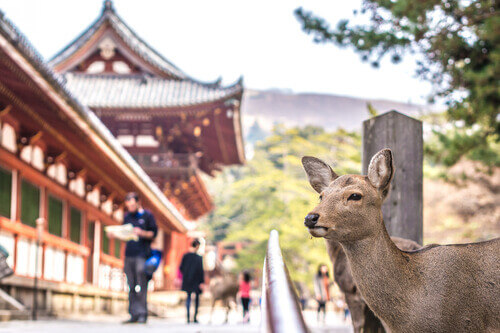 Deer close to camera in front of temple Nara Japan