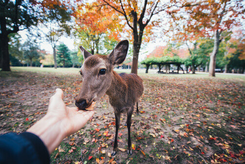 Nara deer eating crackers Nara Japan