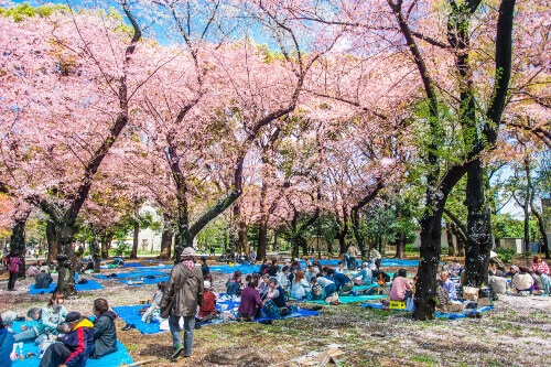 Cherry blossoms festival in Ueno Park. Ueno Park was Japan's first public park that opened in 1873 and is located in Tokyo Japan