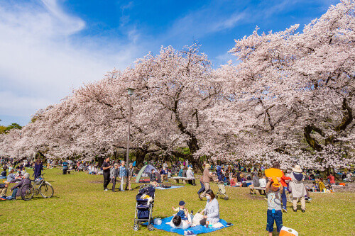 Cherry blossoms in full bloom at Koganei Park in Tokyo Japan