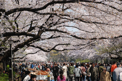 People watching sakura festival at Ueno Park in spring season with Cherry Blossom in Tokyo Japan