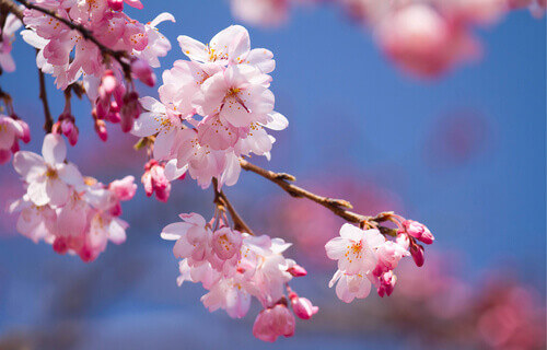 Close up of cherry blossom in Japan