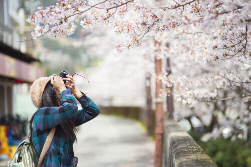A female traveller taking photos of Cherry blossom in Japan