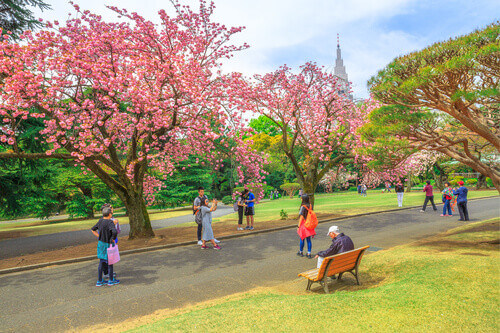 Tourists at Shinjuku Gyoen Garden with blossoming cherry tree Shinjuku District in Tokyo Japan
