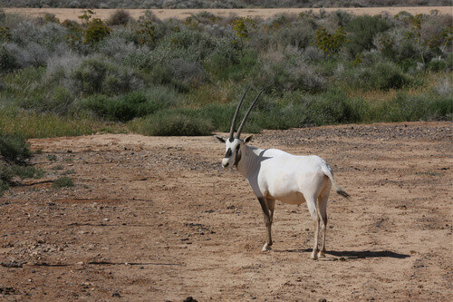 Arabian White Oryx located at The Shaumari Wildlife Reserve in Jordan
