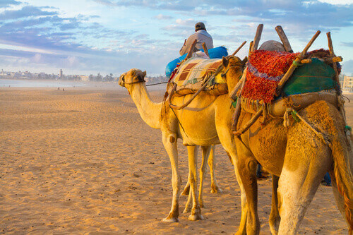 Camel caravan at the beach of Essaouira in the sunset Morocco