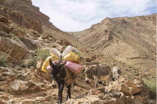 Mules carrying goods on top of Todgha Gorge in Morocco
