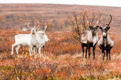 Group of reindeers on a tundra in Karasjok Norway