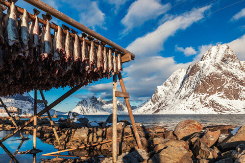 Hanging cod stock fish on wooden racks in Lofoten islands Norway