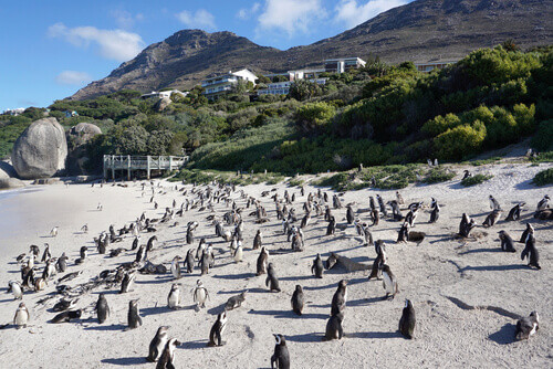 African Penguins standing on the beach at Boulders Beach near Table Mountain National Park in South Africa