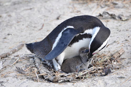 Jackass African penguin with chick in Boulders Beach South Africa