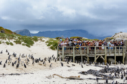 Tourists are observing the African Penguin colony living on Boulders Beach from a wooden platform Cape Town South Africa