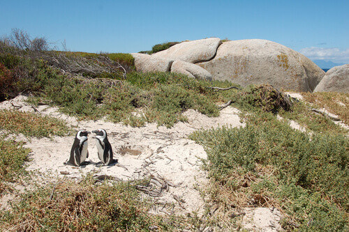 Two penguins at Foxy beach in Cape Town South Africa