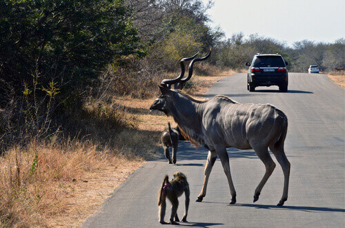A kudu and some baboons on the roadside in Kruger National Park in South Africa