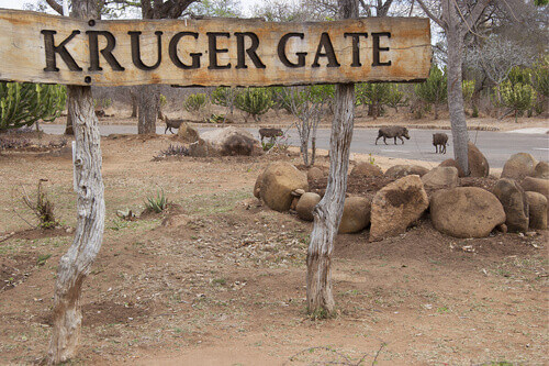 Kruger gate entrance at Kruger National Park with warthogs crossing the road in South Africa