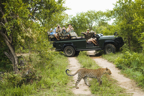 Leopard (Panthera pardus) crossing road with tourists in jeep in background in Kruger National Park South Africa