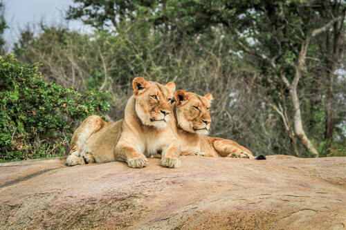 Lions laying on rocks in the Kruger National Park in South Africa