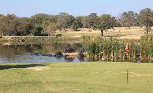 Skukuza golf course with hippopotamuses near putting green in Kruger National Park South Africa