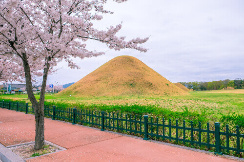 A tomb in Daereungwon Tomb Complex during spring with cherry blossoms in Gyeongju city of South Korea